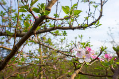 Pink and White Aplle Blossoms. A view of some pink and white apple blossoms during early spring in an apple tree royalty free stock image