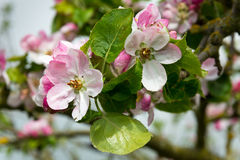 Pink and white apple blossom flowers on a branch Royalty Free Stock Photo