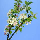 Pink and white apple blossom over blue sky - springtime in natur Royalty Free Stock Photo