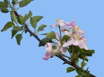 Pink and white apple blossom over blue sky - springtime in natur Royalty Free Stock Photos