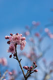 Pink and white apple flower blossoms Royalty Free Stock Photos
