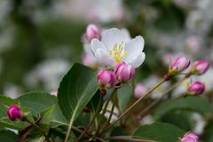 Pink and white apple flower with green leaves and stalk on tree. Pink and white apple flower with green leaves on tree, with bokeh, in summer Stock Photography