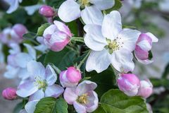 Pink and white apple flowers and buds bloom in the garden stock photos