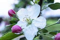 Pink and white apple flowers and buds bloom in the garden stock image