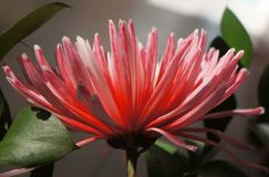 Pink and white aster flower Royalty Free Stock Images