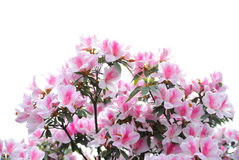 Pink and white azalea blooms Stock Images