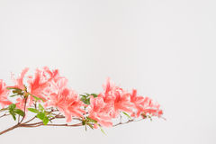 Pink and white azalea flowers Royalty Free Stock Photos