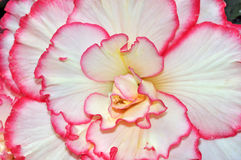 Pink and white begonia Royalty Free Stock Image