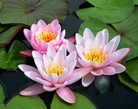 Pink and White Bicolor Water Lillies. A trio of Pink and White Bicolor Water Lilies bloom festively among lily pads Stock Photography