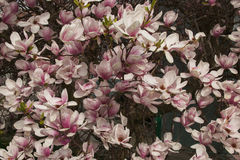 Pink and white blossoming Saucer Magnolia Stock Photography