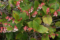 Pink white blossoms of salal Royalty Free Stock Images