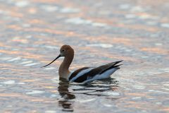Avocet Pink Sunset royalty free stock photography