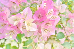 Pink White Bougainvillea Royalty Free Stock Photography