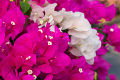 Pink and white bougainvillea. Flower front focus Royalty Free Stock Photos