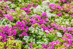 Pink and white Bougainvillea flowers Stock Image
