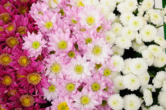 Pink and white brown Chrysanthemum Royalty Free Stock Photography