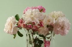 pink and white bush roses Royalty Free Stock Photos