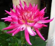 pink-and-white cactus dahlia Royalty Free Stock Photo
