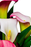 Pink and white calla Lilies - Alcatraz flowers Stock Photos