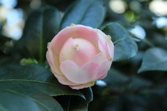 Pink and White Camellia. Pink & white camellia at bok tower in lake wales florida Stock Images