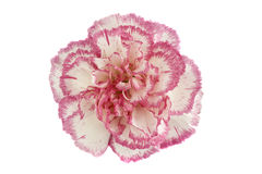 Pink and white carnation flower head Royalty Free Stock Image