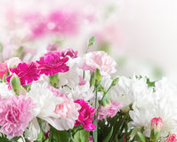 Pink and white carnation flowers Stock Photos