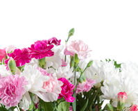 Pink and white carnation flowers Stock Images
