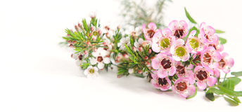 Pink and white Chamelaucium. Waxflower. Royalty Free Stock Photo
