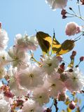 Pink and white Cherry blossom flowers. In blue sky background Royalty Free Stock Photography