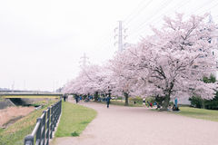 Pink and white cherry blossom in garden Stock Image