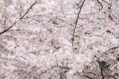 Pink and white cherry blossom in garden Royalty Free Stock Photos