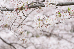 Pink and white cherry blossom Royalty Free Stock Images