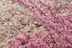 Pink and white cherry blossom in a single frame Stock Photography