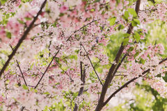Pink and White Cherry Blossoms Royalty Free Stock Photo