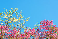Pink and White Cherry Blossoms Stock Image