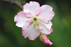 Pink with white cherry blossoms closeup. Beautiful pink flower and bud blooming in the countryside in spring Stock Photos