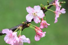Pink with white cherry blossoms closeup. Beautiful pink flowers and buds blooming in the countryside in spring Royalty Free Stock Images