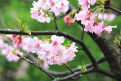 Pink with white cherry blossoms closeup. Many beautiful pink flowers blooming in the countryside in spring Stock Images