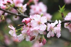 Pink with white cherry blossoms closeup. Many beautiful pink flowers blooming in the countryside in spring Stock Photography