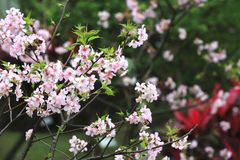 Pink with white cherry blossoms. Many beautiful pink flowers blooming in the countryside in spring Royalty Free Stock Images