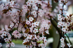 Pink and white cherry blossoms Stock Photos