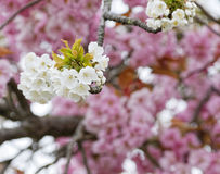 Pink and white cherry blossoms Stock Photography