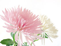 Pink and white Chrysanthemum. Close-up of two beautiful chrysanthemum flowers Royalty Free Stock Photography