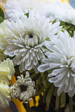 Pink and white Chrysanthemum flowers blooming Stock Images