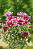 Pink and white chrysanthemum in the garden Stock Images