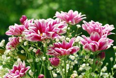 Pink and white chrysanthemum in the garden Royalty Free Stock Photo
