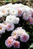 Pink and white Chrysanthemum Royalty Free Stock Images