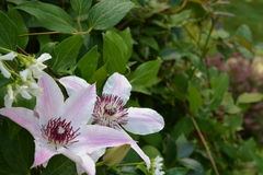PINK WHITE CLEMATIS. CLEMATIS BLOOMING WITH JASMINE Stock Photography