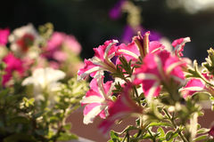 Pink and white color petunia flower on sunset background Royalty Free Stock Image