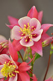 Pink and white columbine flower Royalty Free Stock Images